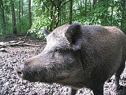 Sus scrofa, Suidae. Photo: GerardM. Source: Wikimedia Commons.