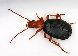 brachinus_sp