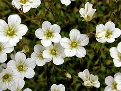 saxifraga_rosacea_source-commons-wikimedia-org_250px