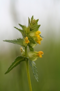 rhinanthus_minor.jpg