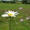 12_leucanthemum_vulgare_0.jpg