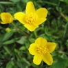 33_caltha_palustris.jpg