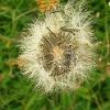 seeds-of-arnica-montana.jpg
